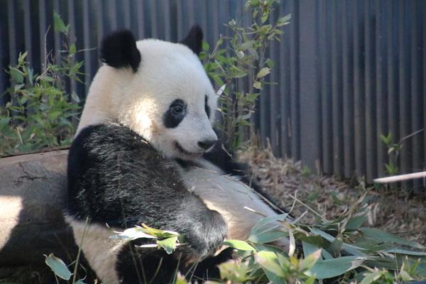 上野動物園 歴代のジャイアントパンダ