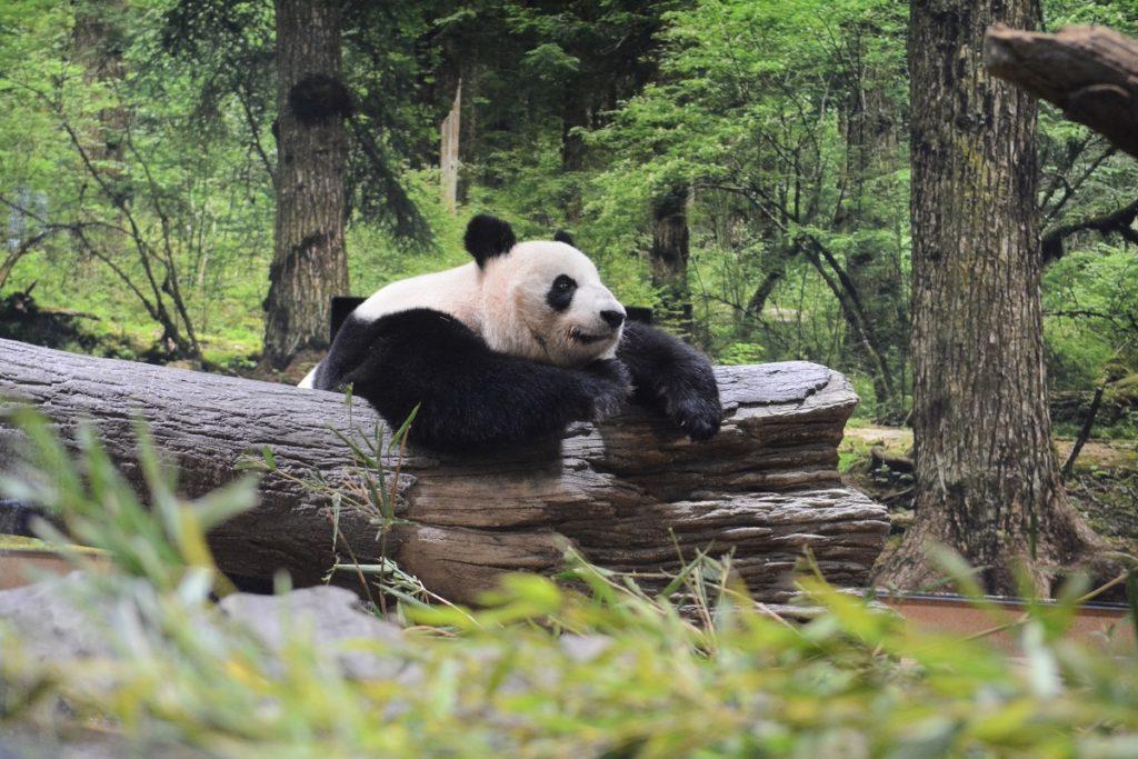 パンダの森で過ごすリーリーとシンシン